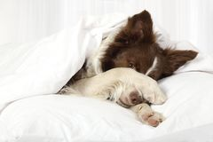 Adorable Border Collie dog lying on a bed under blanket. Beautiful Collie border breed dog lying in bed covering her face with a paw royalty free stock images