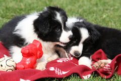 Adorable border collie puppies playing Royalty Free Stock Photo