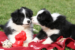 Adorable border collie puppies playing Royalty Free Stock Image