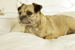 Adorable border terrier royalty free stock photography