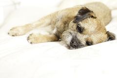 Adorable border terrier. An adorable border terrier happily on his master's bed Stock Image