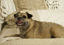 Adorable border terrier Royalty Free Stock Images