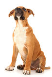Adorable Boxer Puppy Looking Above Stock Images