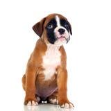 Adorable boxer puppy sitting stock photos