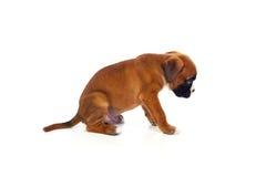 Adorable boxer puppy sitting Stock Photo