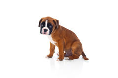 Adorable boxer puppy sitting Royalty Free Stock Image