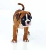 Adorable boxer puppy Stock Photos