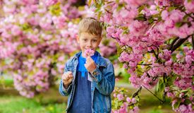 Adorable boy sniffing sakura tender flower. Confident stylish child enjoy warm spring day. Sakura garden concept. Child. Pink flowers of sakura tree background royalty free stock photo