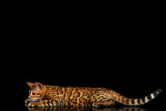 Adorable breed Bengal Cat isolated on Black Background. Adorable Bengal Cat Lying and Stare in front of him on isolated Black Background with reflection, Side Royalty Free Stock Image