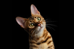 Adorable breed Bengal kitten isolated on Black Background stock image