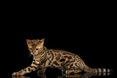 Adorable breed Bengal kitty isolated on Black Background Stock Photos