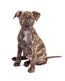 Adorable Brindle Large Breed Puppy Dog Royalty Free Stock Photos