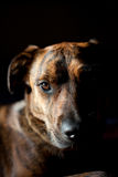 An adorable brindled hound. An adorable brindled Plott hound Stock Photo