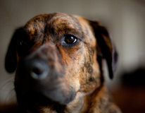 An adorable brindled hound. An adorable brindled Plott hound royalty free stock photo