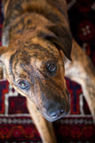 An adorable brindled hound. An adorable brindled Plott hound royalty free stock photography