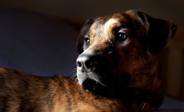 An adorable brindled hound. An adorable brindled Plott hound royalty free stock images