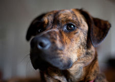 An adorable brindled hound. An adorable brindled Plott hound stock photography
