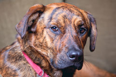Adorable brindled hound dog. An adorable brindled hound dog Stock Photo