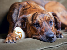 Adorable brindled hound dog. An adorable brindled hound dog royalty free stock photo