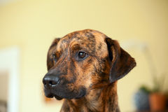 Adorable brindled hound dog. An adorable brindled hound dog royalty free stock photos