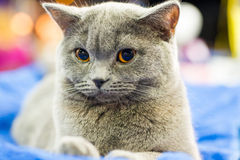 Adorable britan gray cat with orange eyes Stock Image