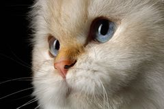Adorable British Cat with Blue eyes on Isolated Black Background. Close-up Portrait of British Cat, Color-point fur and Blue eyes on Isolated Black Background Royalty Free Stock Photography