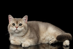 Adorable British Cat with green eyes Lying, isolated on Black Royalty Free Stock Image