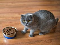 Adorable british cat near bowl with food at home royalty free stock images