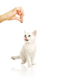 Adorable british kitten Royalty Free Stock Photography