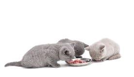 Adorable british little kitten eating Stock Photography
