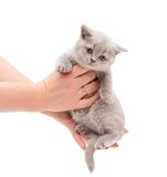 Adorable british little kitten on a hands Stock Photography