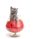 Adorable british little kitten Royalty Free Stock Images