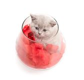 Adorable british little kitten Royalty Free Stock Photography