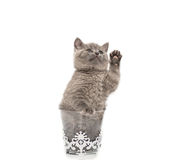 Adorable british little kitten posing. In a glass Stock Photography