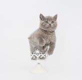 Adorable british little kitten posing Stock Image
