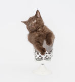 Adorable british little kitten posing Stock Photo