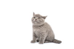 Adorable british little kitten posing Royalty Free Stock Photos