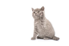 Adorable british little kitten posing Royalty Free Stock Images