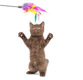 Adorable british little kitten posing Stock Photography