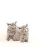 Adorable british little kitten posing Royalty Free Stock Photography