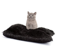 Adorable british little kitten posing Royalty Free Stock Image