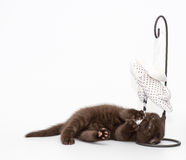 Adorable british little kitten posing Royalty Free Stock Images