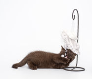 Adorable british little kitten posing Royalty Free Stock Photography