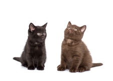 Adorable british little kitten posing Stock Photos