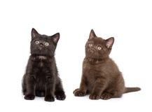 Adorable british little kitten posing Stock Photography