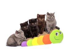 Adorable british little kitten posing Royalty Free Stock Photo