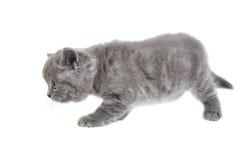 Adorable british little kitten Stock Photos