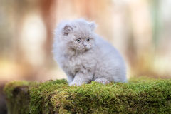 Adorable british longhair kitten outdoors Stock Image