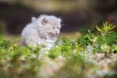 Adorable british longhair kitten outdoors Stock Images