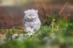 Adorable british longhair kitten outdoors Royalty Free Stock Photo